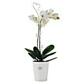 ORCHIDEENCLIP       TRANSPARENT 2ER-PACK