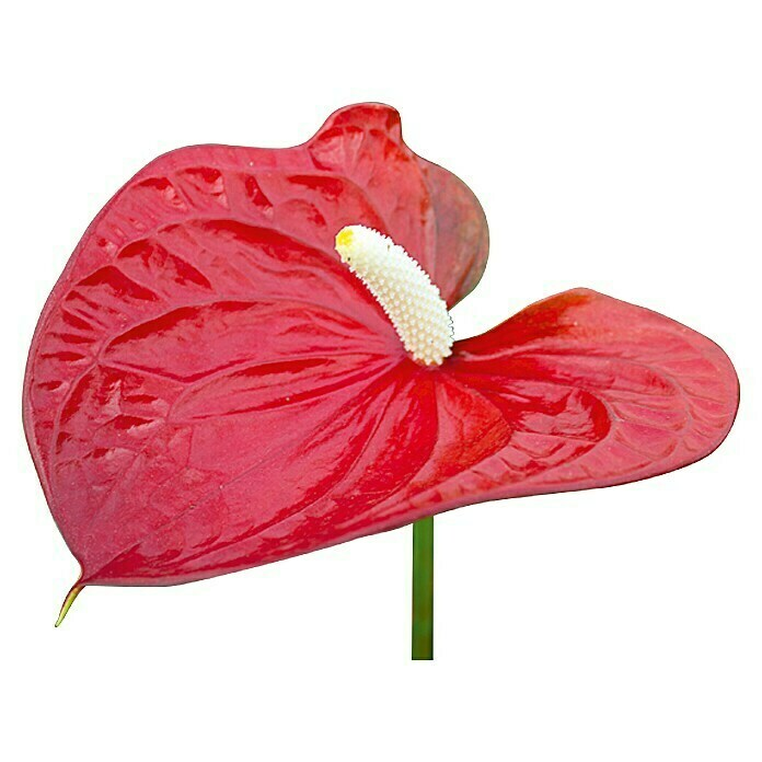 Flamingoblume (Anthurium x andreanum Red Love, Topfgröße: 12 cm, Rot)
