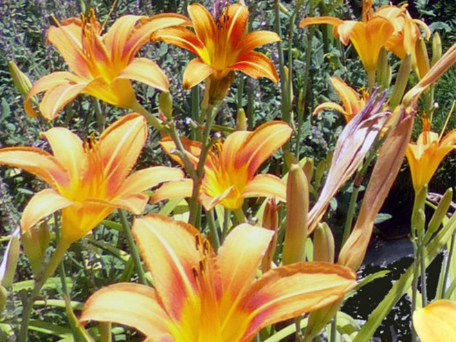 Lilien in orange